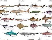 troppe specie di pesci e poche di tigri dipende solo dall On specie di pesci